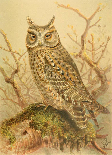 Owl Painting - Scops Owl by Dreyer Wildlife Print Collections
