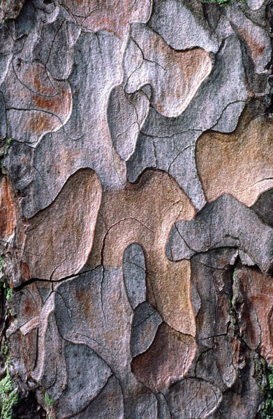 Norfolk Pine Wall Art - Photograph - Scots Pine Bark Abstract by Nigel Downer