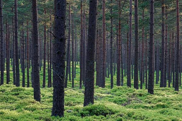 Bilberry Photograph - Scots Pine Forest by Duncan Shaw/science Photo Library
