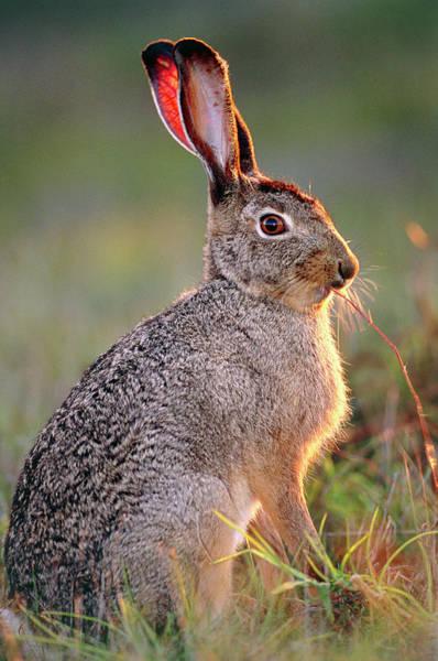 Scrub Photograph - Scrub Hare by Tony Camacho/science Photo Library