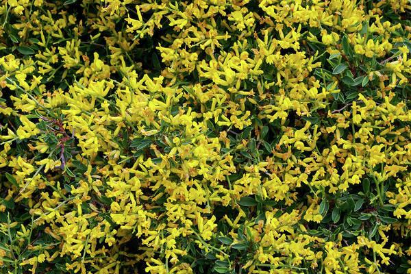 Heath Photograph - Sea Heath (frankenia Thymifolia) by Neil Joy/science Photo Library