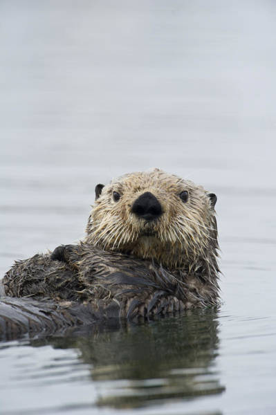 Art Print featuring the photograph Sea Otter Alaska by Michael Quinton