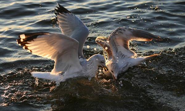 Wall Art - Photograph - Seagulls In Fight by Valia Bradshaw