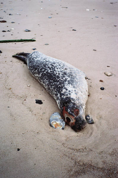 Wall Art - Photograph - Seal Killed By Distemper by Dr Jeremy Burgess/science Photo Library