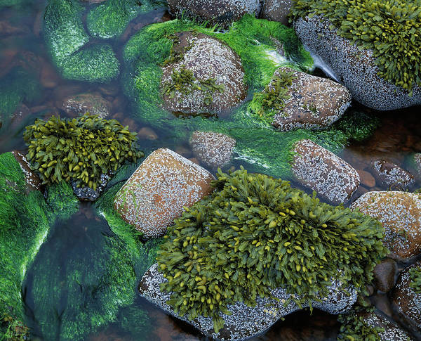 Seaweed Photograph - Seaweed by Simon Fraser/science Photo Library