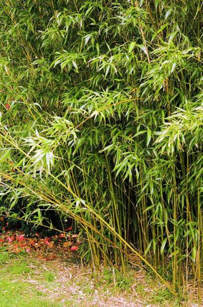 Bamboo Photograph - Semiarundinaria Yashadake by Adrian Thomas/science Photo Library