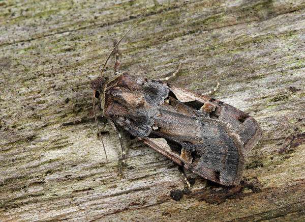 Entomology Photograph - Setaceous Hebrew Character by Nigel Downer