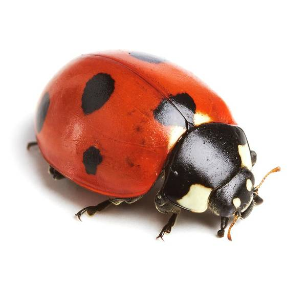 Wall Art - Photograph - Seven-spot Ladybird by Science Photo Library