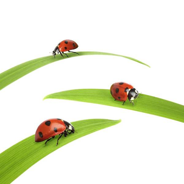Wall Art - Photograph - Seven-spot Ladybirds by Science Photo Library