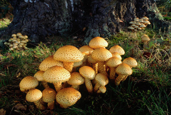Mycology Wall Art - Photograph - Shaggy Pholiota by Nigel Downer