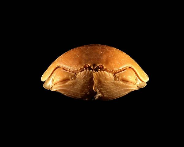 Chela Wall Art - Photograph - Shame-faced Crab by Science Photo Library