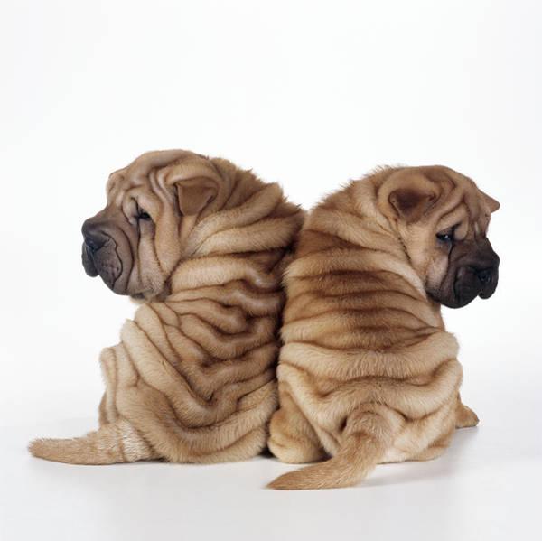 Photograph - Shar Pei Puppies by John Daniels