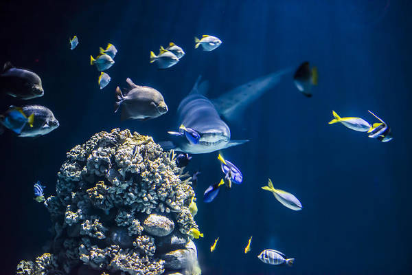 Sea Life Photograph - Shark Hunting by Jaroslaw Grudzinski