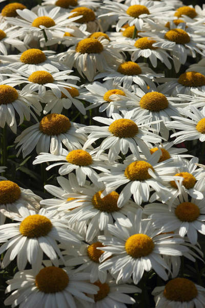 Wall Art - Photograph - Shasta Daisies by Jeanne White
