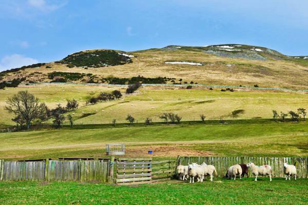 Wall Art - Photograph - Sheep In Meadow by Tom Gowanlock