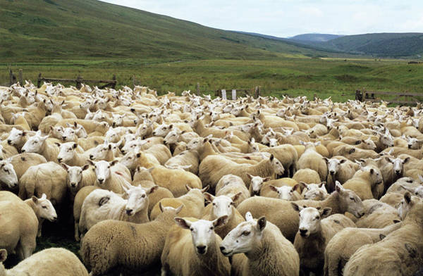 Branding Photograph - Sheep by Robert Brook/science Photo Library