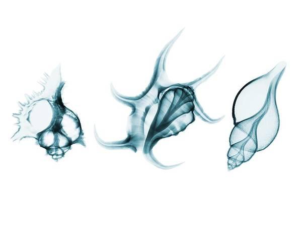 Three Seashells Photograph - Shells by Brendan Fitzpatrick