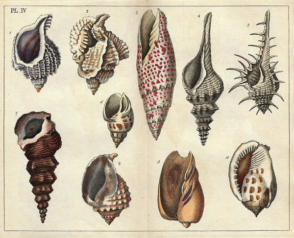 Natural Elements Photograph - Shells by Natural History Museum, London/science Photo Library