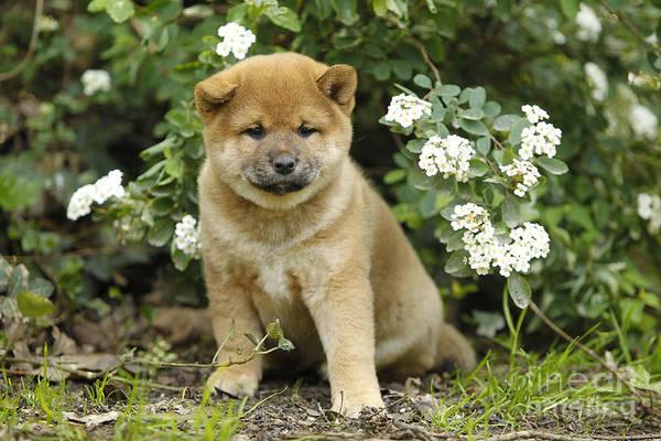 Photograph - Shiba Inu Puppy Dog by Jean-Michel Labat