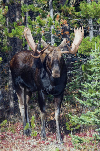 Alces Alces Photograph - Shiras Bull Moose by Ken Archer