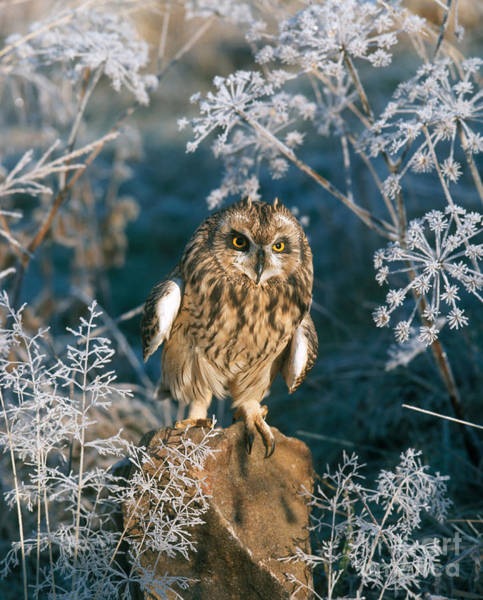 Photograph - Short-eared Owl by Hans Reinhard