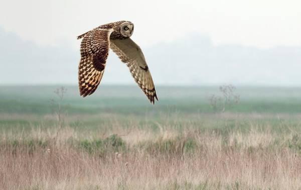 Short Cut Photograph - Short-eared Owl by John Devries