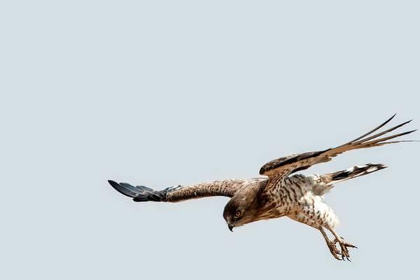 Accipitridae Wall Art - Photograph - Short-toed Snake Eagle Circaetus Gallicus by Photostock-israel