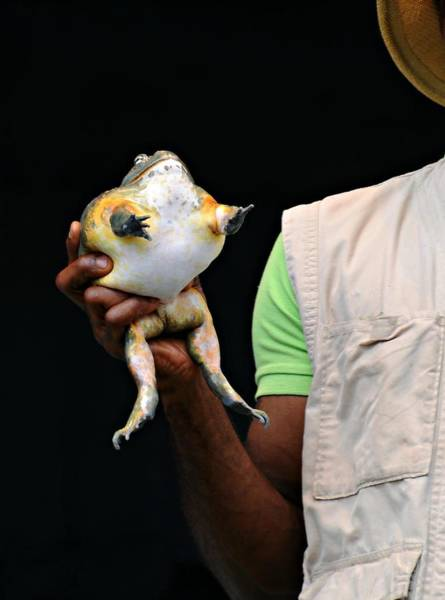 Bull Frog Photograph - Show And Tell by Diana Angstadt