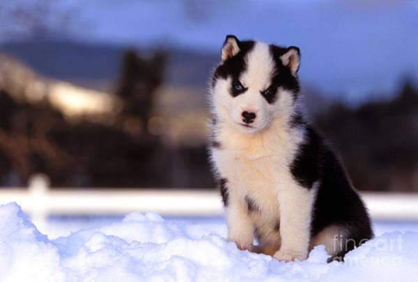 Photograph - Siberian Husky Puppy by Rolf Kopfle