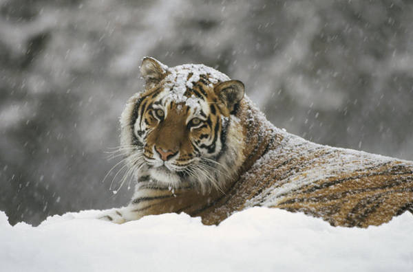 Photograph - Siberian Tiger Portrait In Snow Storm by Konrad Wothe