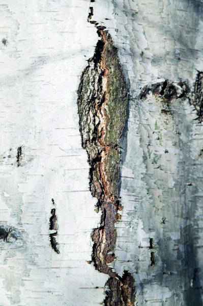 Crevice Photograph - Silver Birch Bark by Gustoimages/science Photo Library