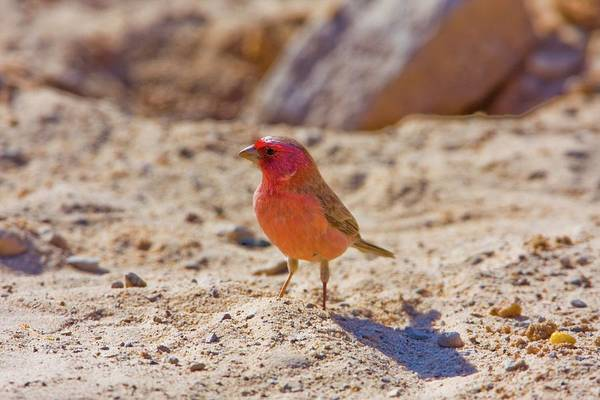 Psi Wall Art - Photograph - Sinai Rosefinch (carpodacus Synoicus) by Photostock-israel