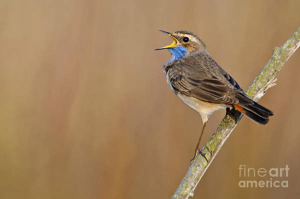 Tweets Photograph - Singing Bluethroat by Willi Rolfes