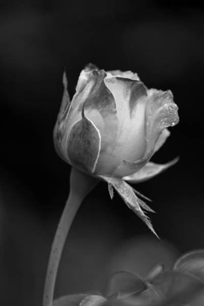 Photograph - Single Rosebud by Dawn Currie