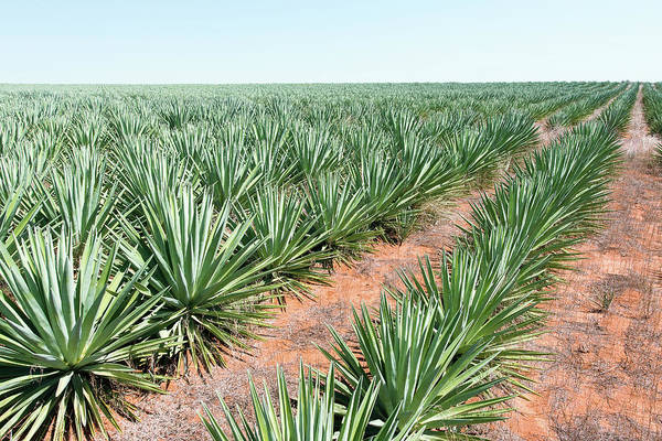 Row Crops Photograph - Sisal Plantation by Dr P. Marazzi