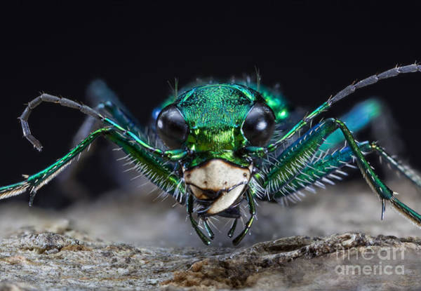 Photograph - Six-spotted Green Tiger Beetle by Phil Degginger
