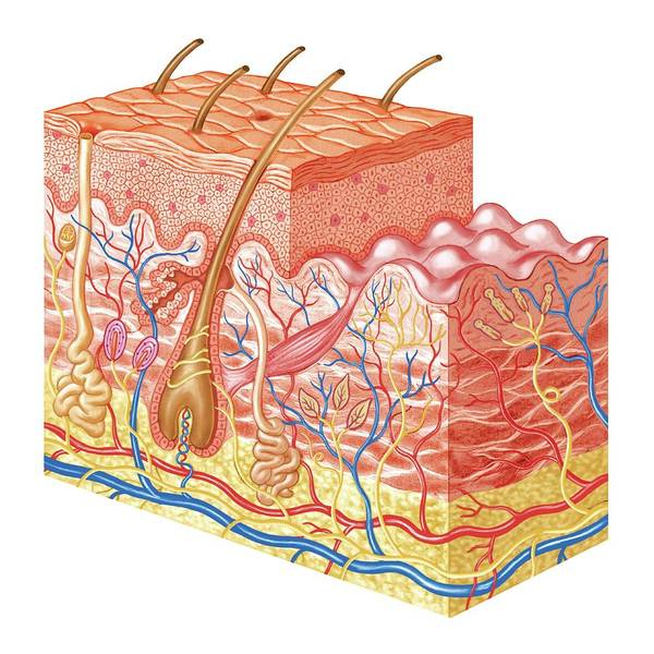 Skin Layers Art Print by Asklepios Medical Atlas