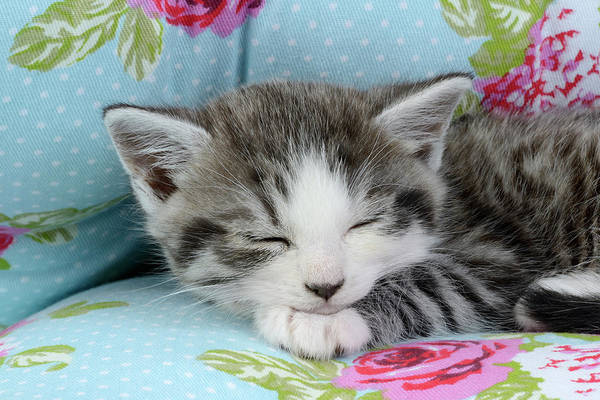 Wall Art - Painting - Sleeping Floral Kitten by MGL Meiklejohn Graphics Licensing
