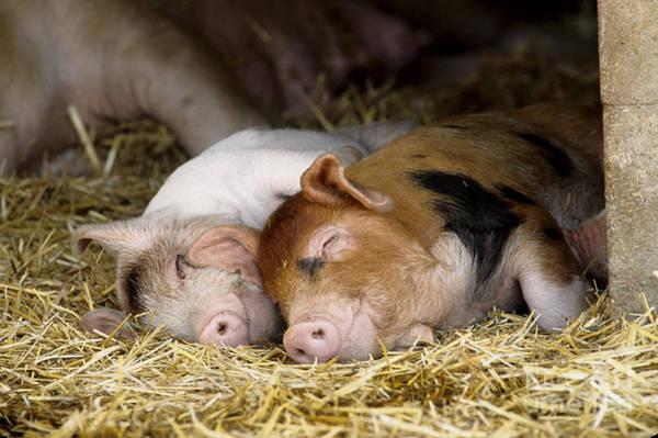 Photograph - Sleeping Hogs  by Inga Spence