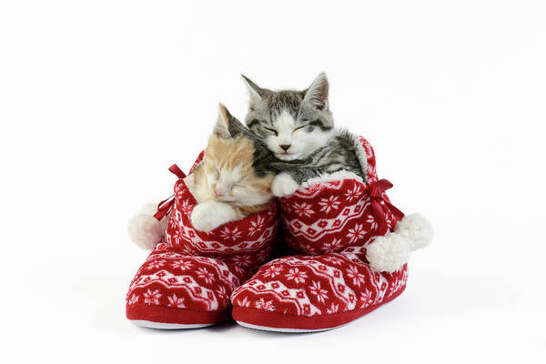 Wall Art - Painting - Sleeping Kittens In Slippers by MGL Meiklejohn Graphics Licensing