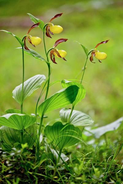 Lady Slippers Photograph - Slipper Orchid (cypripedium Calceolus) by Bob Gibbons