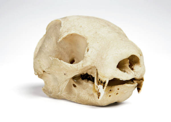 Preservation Photograph - Sloth Skull by Ucl, Grant Museum Of Zoology