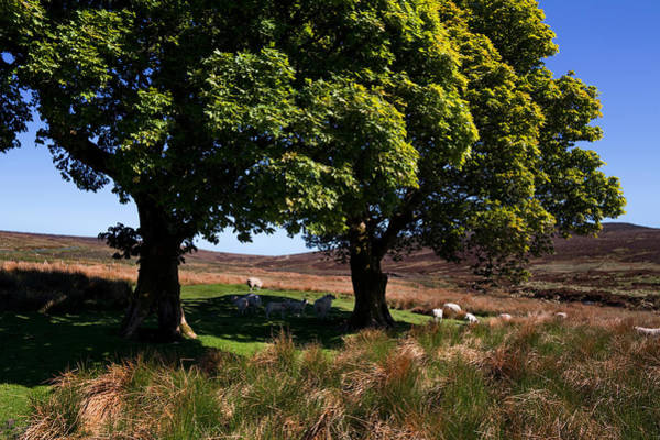 Ewe Photograph - Small Group Of Trees, East Kippure by Panoramic Images