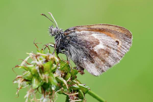 Imago Photograph - Small Heath Butterfly by Heath Mcdonald/science Photo Library