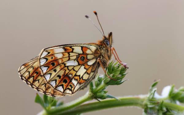 Imago Photograph - Small Pearl Bordered Fritillary by Heath Mcdonald