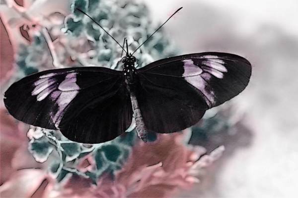 Photograph - Small Postman Butterfly by Marianna Mills