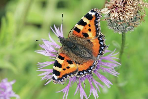 Tortoise Shell Photograph - Small Tortoiseshell Butterfly by John Devries/science Photo Library