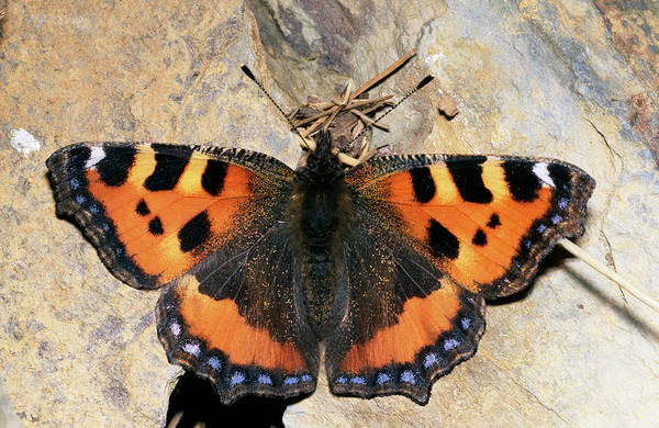 Tortoiseshell Photograph - Small Tortoiseshell Butterfly by Sinclair Stammers/science Photo Library