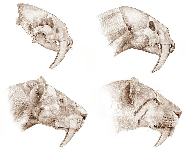 Smilodon Wall Art - Photograph - Smilodon Sabre-toothed Cat by Mauricio Anton