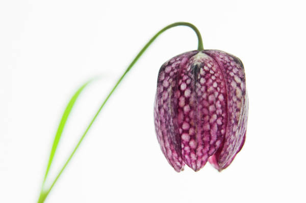 Fritillaria Photograph - Snake's Head Fritillary by Gustoimages/science Photo Library